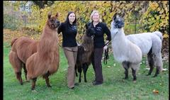 therapy llamas visit nursing homes and hospitals